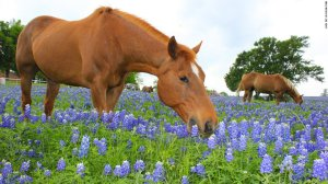 horses in blue tw 29716