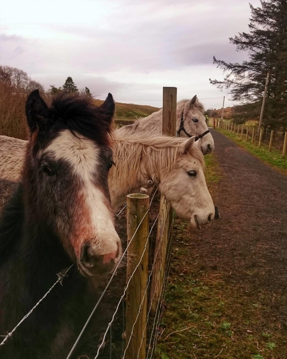 discover ireland ponies