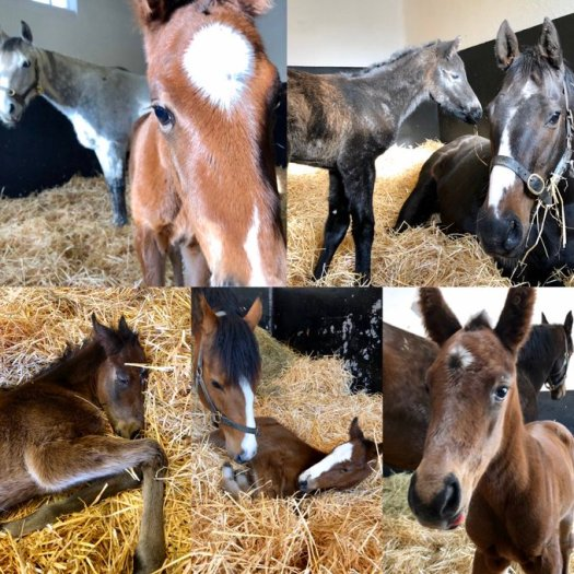 i national stud foaling