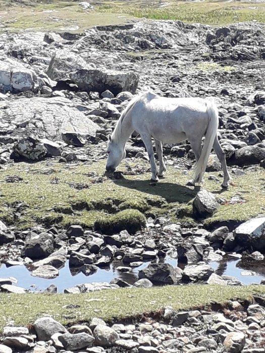 connemara pony seaweed